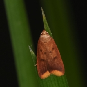 Tachystola acroxantha at Melba, ACT - 17 Apr 2021