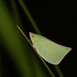 Siphanta sp. (genus) at Melba, ACT - 17 Apr 2021