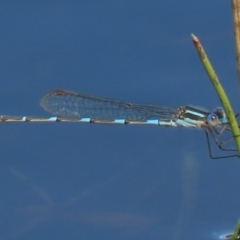 Austrolestes leda (Wandering Ringtail) at Franklin Grassland Reserve - 6 Sep 2020 by AndrewZelnik