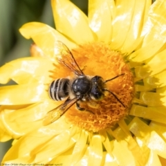 Megachile (Eutricharaea) sp. (subgenus) (Leaf-cutter Bee) at ANBG - 19 Apr 2021 by Roger