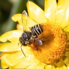 Megachile (Eutricharaea) sp. (subgenus) at ANBG - 19 Apr 2021
