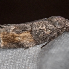 Illidgea epigramma (A Gelechioid moth) at Melba, ACT - 25 Jan 2021 by Bron