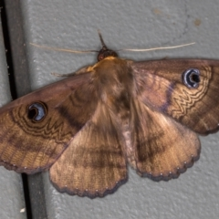 Dasypodia selenophora (Southern old lady moth) at Melba, ACT - 25 Jan 2021 by Bron