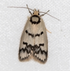 Compsotropha selenias (A Concealer moth) at Melba, ACT - 24 Jan 2021 by Bron