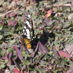 Apina callisto (Pasture Day Moth) at Collector, NSW - 18 Apr 2021 by AlisonMilton