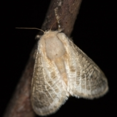Doratifera pinguis (Pale Cup Moth) at Melba, ACT - 24 Jan 2021 by Bron