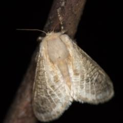 Doratifera pinguis (Pale Cup Moth) at Melba, ACT - 24 Jan 2021 by Bron
