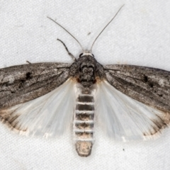 Capusa (genus) (Wedge moth) at Melba, ACT - 24 Jan 2021 by Bron