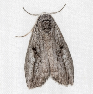 Capusa (genus) at Melba, ACT - 24 Jan 2021