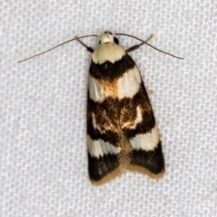 Catacometes phanozona (A Concealer moth) at Melba, ACT - 24 Jan 2021 by Bron
