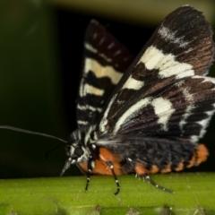 Phalaenoides glycinae (Grapevine Moth) at Melba, ACT - 23 Jan 2021 by Bron