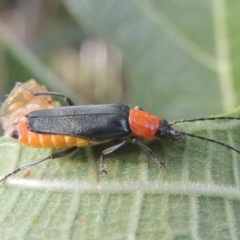 Chauliognathus tricolor (Tricolor soldier beetle) at Conder, ACT - 21 Feb 2021 by michaelb