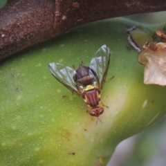 Bactrocera (Bactrocera) tryoni (Queensland fruit fly) at Conder, ACT - 23 Feb 2021 by michaelb