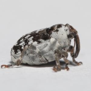 Mogulones larvatus at Evatt, ACT - 17 Apr 2021