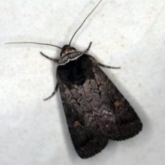 Proteuxoa restituta at Deua National Park (CNM area) - 16 Apr 2021