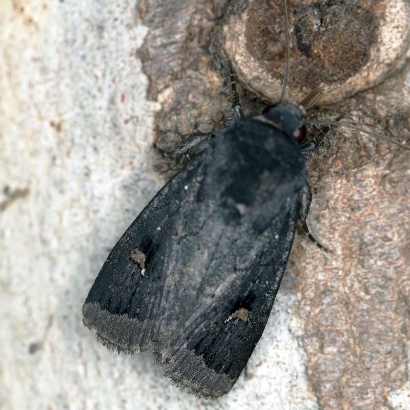 Proteuxoa atra at Deua National Park (CNM area) - 16 Apr 2021