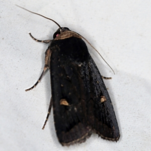 Proteuxoa testaceicollis at Deua National Park (CNM area) - 16 Apr 2021