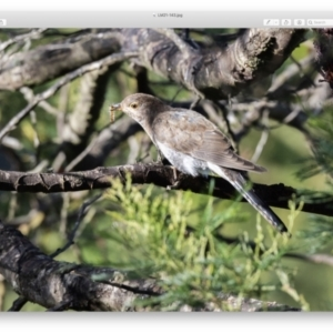 Cacomantis flabelliformis (Fan-tailed Cuckoo) at Penrose, NSW by NigeHartley