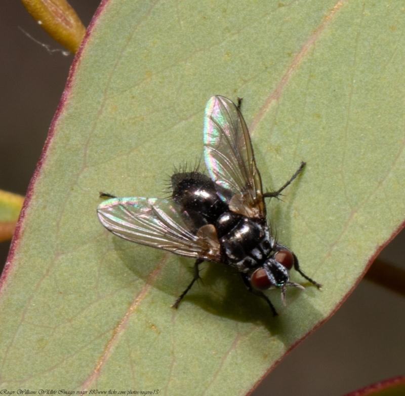 Tachinidae sp. (family) at Black Mountain - 20 Apr 2021