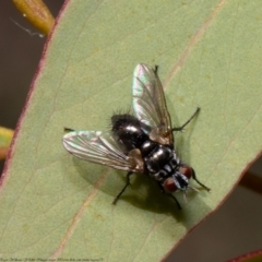 Tachinidae sp. (family) (Unidentified Bristle fly) at Black Mountain - 20 Apr 2021 by Roger