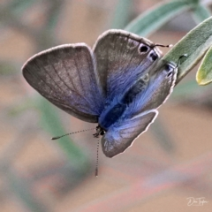 Lampides boeticus (Long-tailed Pea-blue) at ANBG - 20 Apr 2021 by dimageau