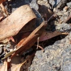 Goniaea australasiae at Tidbinbilla Nature Reserve - 19 Apr 2021
