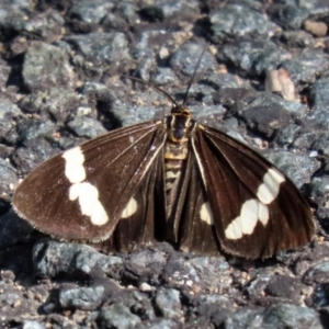 Nyctemera amicus at Tidbinbilla Nature Reserve - 19 Apr 2021