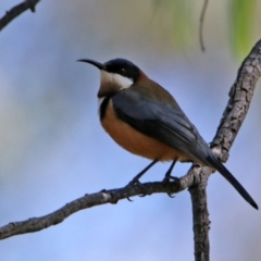 Acanthorhynchus tenuirostris (Eastern Spinebill) at Tidbinbilla Nature Reserve - 19 Apr 2021 by RodDeb