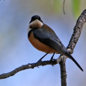 Acanthorhynchus tenuirostris at Tidbinbilla Nature Reserve - 19 Apr 2021