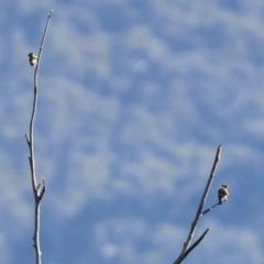 Carduelis carduelis at Tidbinbilla Nature Reserve - 19 Apr 2021
