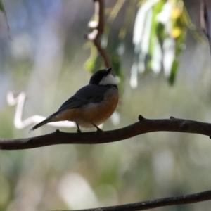 Pachycephala rufiventris at Tidbinbilla Nature Reserve - 19 Apr 2021