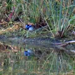 Malurus cyaneus (Superb Fairywren) at Tidbinbilla Nature Reserve - 19 Apr 2021 by RodDeb