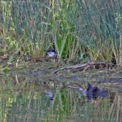 Malurus cyaneus at Tidbinbilla Nature Reserve - 19 Apr 2021