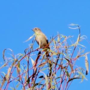 Petroica phoenicea at Tidbinbilla Nature Reserve - 19 Apr 2021