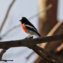 Petroica boodang (Scarlet Robin) at Tidbinbilla Nature Reserve - 19 Apr 2021 by RodDeb
