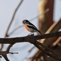 Petroica boodang at Tidbinbilla Nature Reserve - 19 Apr 2021