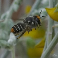 Megachile (Eutricharaea) maculariformis at ANBG - 20 Apr 2021