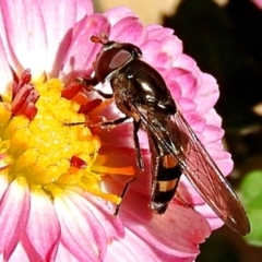 Melangyna viridiceps (Hover fly) at Crooked Corner, NSW - 17 Apr 2021 by Milly
