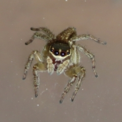 Hypoblemum griseum (A jumping spider) at Macarthur, ACT - 20 Apr 2021 by RodDeb