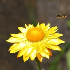 Melangyna viridiceps (Hover fly) at ANBG - 18 Apr 2021 by TimL