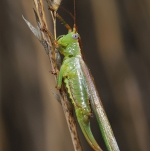 Conocephalomima barameda at ANBG - 19 Apr 2021