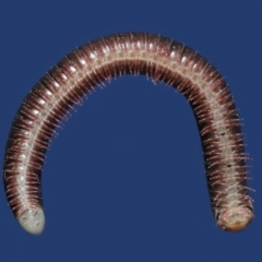 Unidentified Millipede (Diplopoda) (TBC) at Evatt, ACT - 19 Apr 2021 by TimL