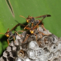 Polistes (Polistella) humilis (Common Paper Wasp) at ANBG - 19 Apr 2021 by TimL