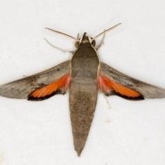 Hippotion scrofa (Coprosma Hawk Moth) at Melba, ACT - 24 Jan 2021 by Bron