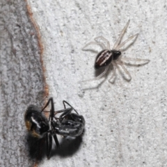 Euryopis umbilicata (Striped tick spider) at ANBG - 18 Apr 2021 by TimL
