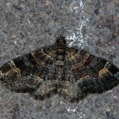 Epyaxa sodaliata (A geometer moth) at Melba, ACT - 22 Jan 2021 by Bron
