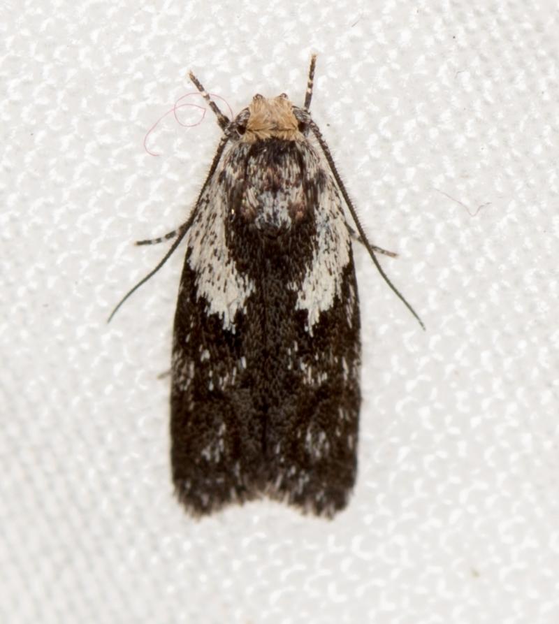 Phylomictis maligna at Melba, ACT - 23 Jan 2021