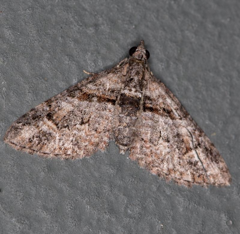 Phrissogonus laticostata at Melba, ACT - 23 Jan 2021