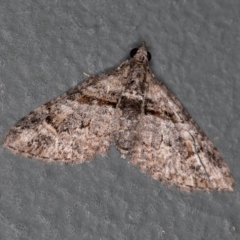 Phrissogonus laticostata (Apple looper moth) at Melba, ACT - 23 Jan 2021 by Bron