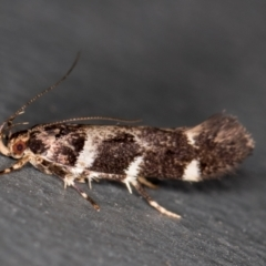 Macrobathra (genus) (A cosmet moth) at Melba, ACT - 23 Jan 2021 by Bron